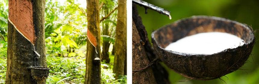 Ökologische Ernte von Naturlatex